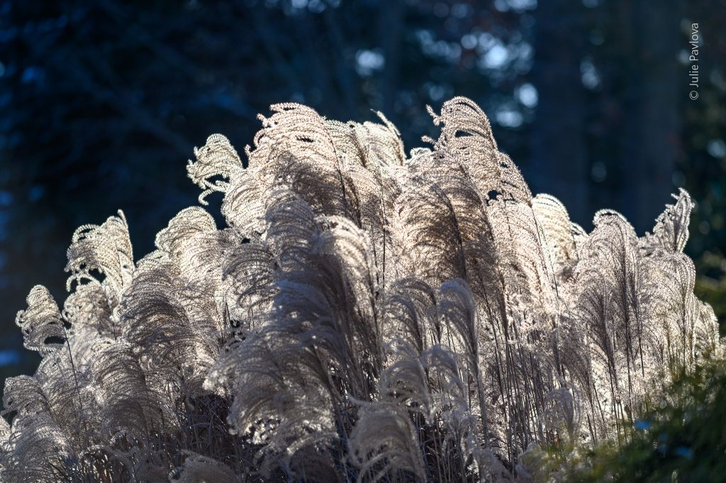 Ornamental grass - Landscape photography by the professional photographer servicing New York City and North Jersey (Bergen County, New Jersey) - Julie Pavlova