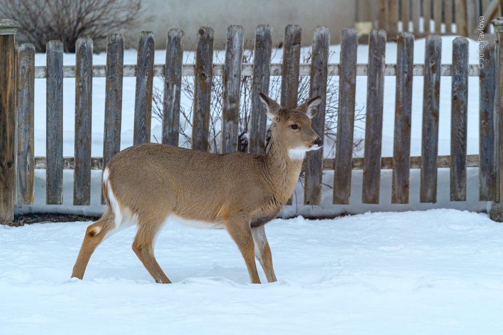 Deer in snow - Landscape photography by the professional photographer servicing New York City and North Jersey (Bergen County, New Jersey) - Julie Pavlova